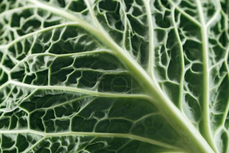 Photo for Close up view of green fresh cabbage leaf - Royalty Free Image