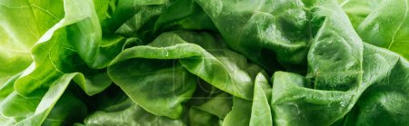 Photo for Panoramic shot of green wet fresh organic lettuce leaves with drops - Royalty Free Image