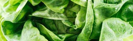 Photo pour Plan panoramique de feuilles de laitue fraîche bio humide verte avec des gouttes - image libre de droit