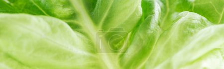 Photo for Panoramic shot of green fresh organic lettuce leaf - Royalty Free Image