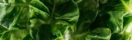 Photo for Panoramic shot of green fresh wet lettuce leaves with water drops - Royalty Free Image