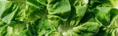 Photo for Panoramic shot of green wet fresh organic lettuce leaves with water drops - Royalty Free Image