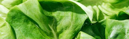 Photo pour Panoramic shot of green fresh lettuce leaves with water drops - image libre de droit