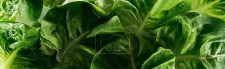 Photo for Panoramic shot of green organic lettuce leaves with water drops - Royalty Free Image