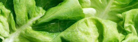 Photo for Panoramic shot of green fresh organic lettuce leaves with water drops - Royalty Free Image