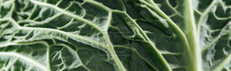 Photo for Close up view of green bright cabbage leaf, panoramic shot - Royalty Free Image