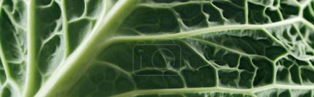 Photo for Close up view of green fresh cabbage leaf, panoramic shot - Royalty Free Image