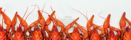 Photo pour Plan panoramique de homards rouges tête sur fond blanc - image libre de droit