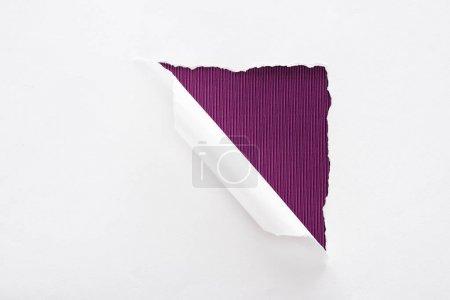 Foto de Papel blanco desgarrado y enrollado sobre fondo púrpura oscuro - Imagen libre de derechos