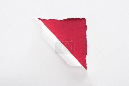 Photo pour Papier déchiré blanc et roulé sur le fond rouge profond - image libre de droit