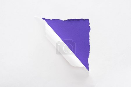 Photo for White torn and rolled paper on violet colorful background - Royalty Free Image