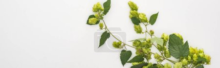Photo for Top view of green hop on white background, panoramic shot - Royalty Free Image