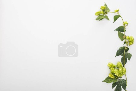 Photo pour Vue de dessus du houblon vert avec des feuilles sur fond blanc - image libre de droit