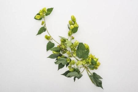 Photo for Top view of green blooming hop on white background - Royalty Free Image