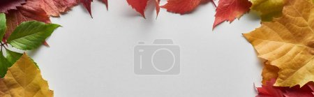 Photo for Panoramic shot of colorful autumn leaves on white background with copy space - Royalty Free Image