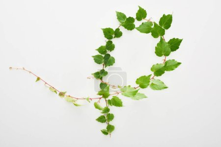 top view of hop plant twig with green leaves isolated on white