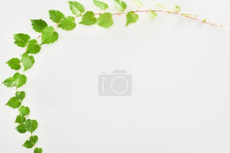 Photo for Top view of hop plant twig with green leaves isolated on white with copy space - Royalty Free Image