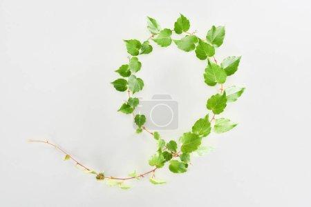 Photo pour Vue du dessus des rameaux de houblon avec des feuilles vertes isolées sur blanc - image libre de droit