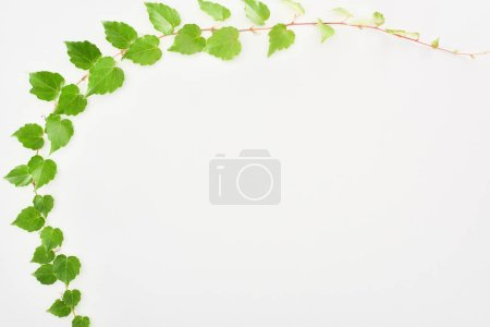 top view of hop plant twig with green leaves isolated on white with copy space