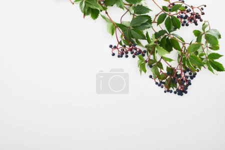 Foto de Top view of wild grapes branch with green leaves and berries isolated on white with copy space - Imagen libre de derechos