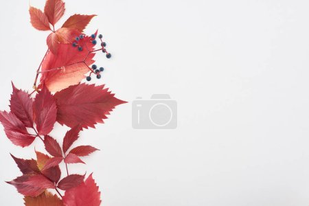 Photo for Top view of wild grapes branch with red leaves and berries isolated on white with copy space - Royalty Free Image