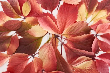 Photo pour Close up view of colorful red leaves of wild grapes isolated on white - image libre de droit
