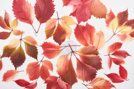 top view of scattered colorful red leaves of wild grapes isolated on white