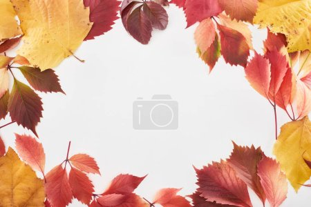 Photo for Frame of colorful red and yellow leaves of alder, maple and wild grapes isolated on white with copy space - Royalty Free Image