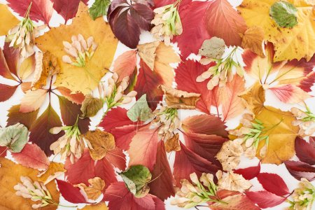 top view of maple seeds, colorful red and yellow leaves of wild grapes, alder and maple isolated on white