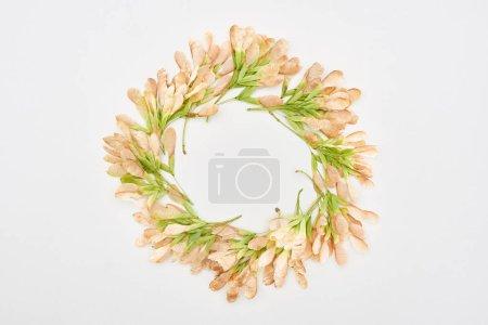 Photo pour Cadre circulaire de graines d'érable séchées isolées sur fond blanc - image libre de droit