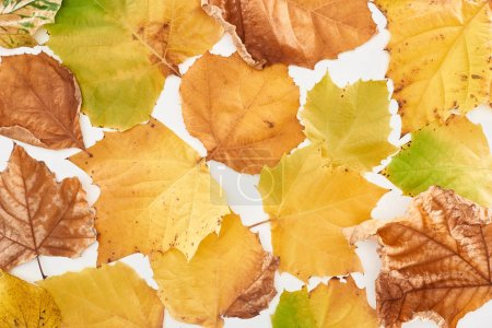 Photo for Top view of bright yellow maple leaves isolated on white background - Royalty Free Image