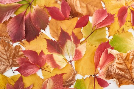 Photo pour Top view of colorful autumn leaves of wild grapes and maple isolated on white - image libre de droit