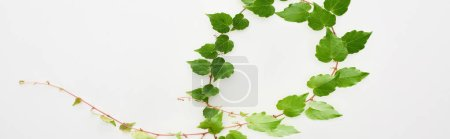 Photo for Panoramic shot of hop plant twig with green leaves isolated on white - Royalty Free Image