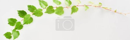 Foto de Panoramic shot of hop plant twig with green leaves isolated on white - Imagen libre de derechos
