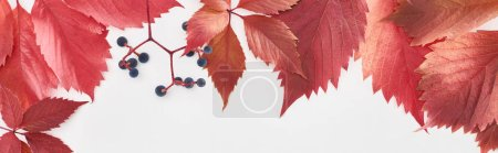 Photo for Panoramic shot of red leaves and berries of wild grapes isolated on white - Royalty Free Image