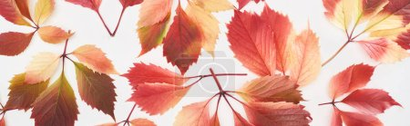 Photo pour Panoramic shot of colorful autumn leaves of wild grapes isolated on white - image libre de droit