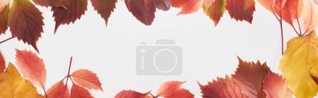 Photo pour Panoramic shot of colorful autumn leaves of wild grapes and alder isolated on white - image libre de droit