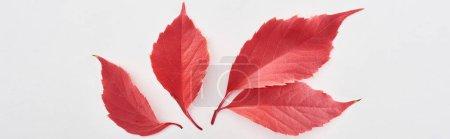 Photo pour Plan panoramique de feuilles rouges de raisins sauvages isolées sur blanc - image libre de droit