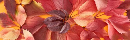Photo pour Panoramic shot of colorful autumn leaves of wild grapes on yellow surface - image libre de droit