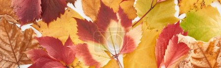 Photo pour Panoramic shot of colorful autumn leaves of wild grapes, alder and maple isolated on white - image libre de droit