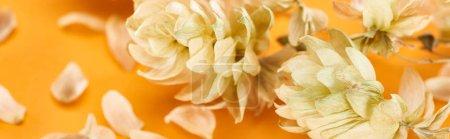Photo pour Vue rapprochée des cônes de graines de houblon sec près des pétales sur plan panoramique jaune - image libre de droit