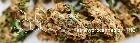 close up view of medical marijuana buds on white background with thc molecule illustration, panoramic shot