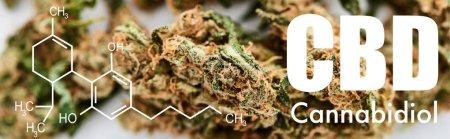 close up view of medical marijuana buds on white background with cbd molecule illustration, panoramic shot