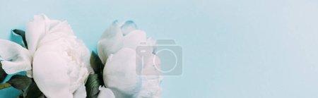 Photo pour Vue de dessus des pivoines blanches sur fond bleu, panoramique - image libre de droit
