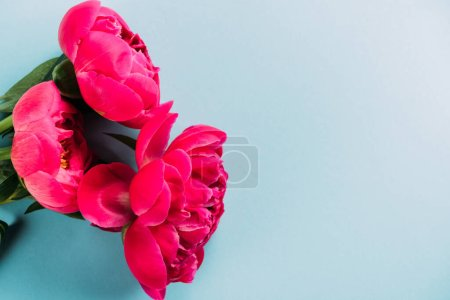 top view of colorful pink peonies on blue background
