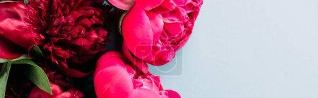 Foto de Vista superior de las coloridas peonías rosadas sobre fondo azul, disparo panorámico. - Imagen libre de derechos