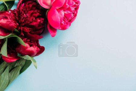 Photo pour Vue de dessus des pivoines roses colorées sur fond bleu - image libre de droit