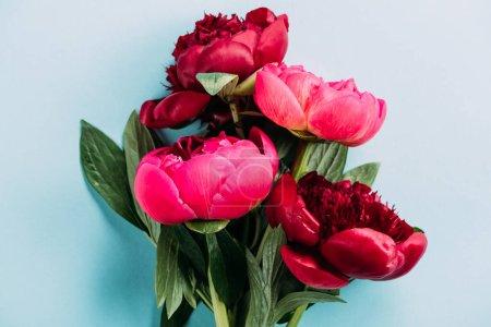 Photo pour Vue de dessus des pivoines roses sur fond bleu - image libre de droit