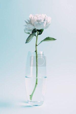Photo pour Pivoine blanche dans un vase en verre sur fond bleu - image libre de droit