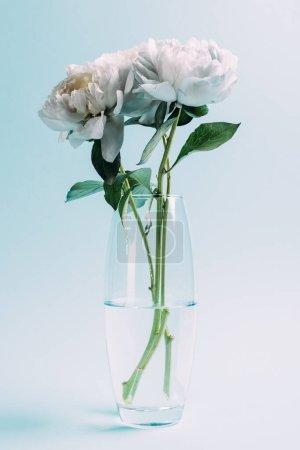 Photo pour Bouquet de pivoines blanches dans un vase en verre sur fond bleu - image libre de droit